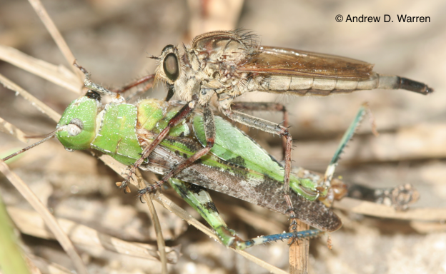 being eaten by a robberfly (Proctacanthus sp.), FL: Levy Co.: near Bronson, 2-IX-2013