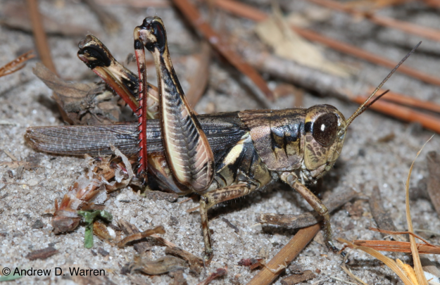 ovipositing female, FL: Alachua Co.: Gainesville, UF campus at NATL, 31-X-2013
