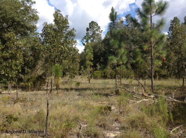 Sand ridge habitat in Levy Vounty, Florida