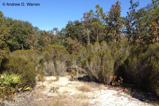 Stand of Florida Rosemary near Bronson, Levy County, Florida, 11 November 2013