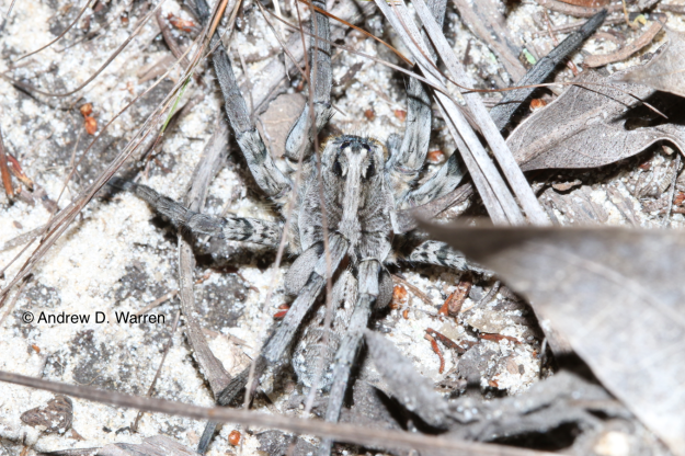 Wolf spider, Hogna sp., nestled in the leaf litter, USA, Florida, Levy Co., nr. Bronson, 23-XI-2013
