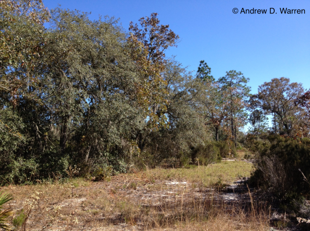 Sandhill habitat near Bronson, Levy County, Florida, USA, 23-XI-2013