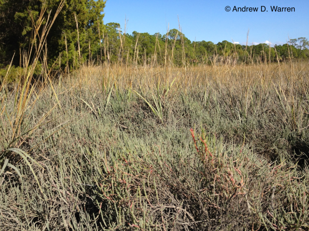 View of the world, according to an Eastern Pygmy-Blue (Brephidium pseudofea), FLORIDA: Levy Co.: Hwy. 24, N end bridge to Haven's Island, 8-XII-2013