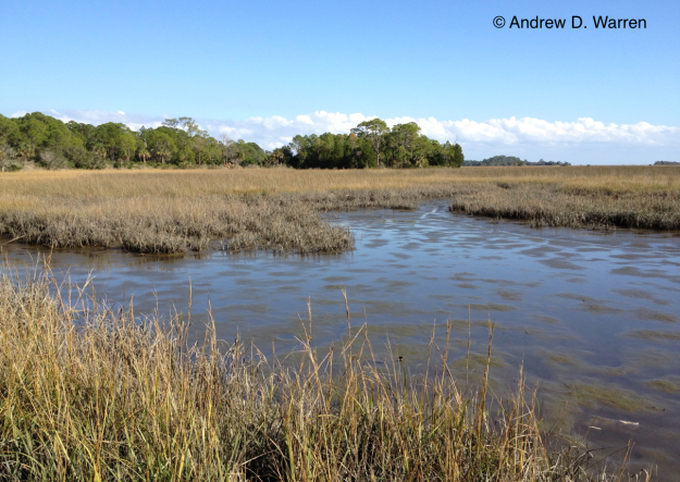 Salt Marsh habitat at N end of bridge to Haven's Island, Hwy. 24, Levy Co., FLORIDA, 8-XII-2013