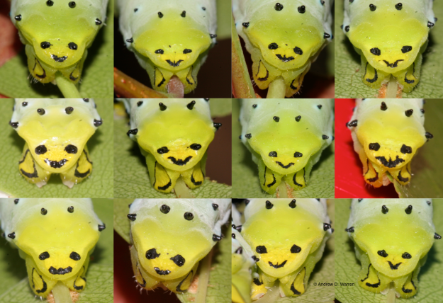 Posterior views of 12 different Promethea Moth larvae, June, 2013