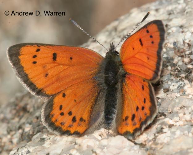 male Lustrous Copper (Lycaena cupreus snowi)