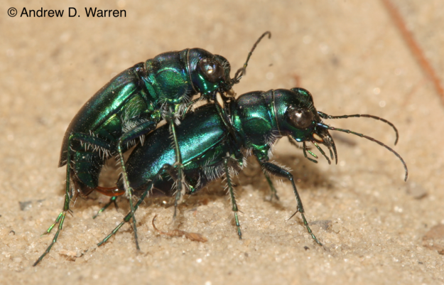 Mating pair of Cicindela scutellaris unicolor, USA, Florida, near Bronson, date