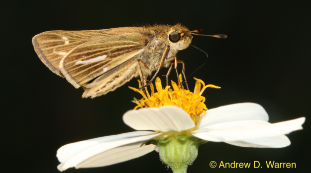 Female Saltmarsh Skipper (Panoquina panoquin)