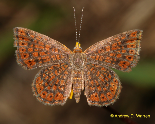 Male Little Metalmark (Calephelis virginiensis)