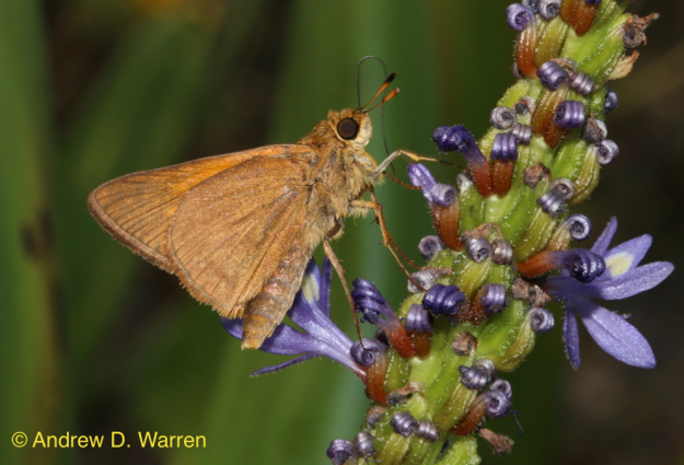 Male Palatka Skipper (Euphyes pilatka) feeding at Pickerelweed