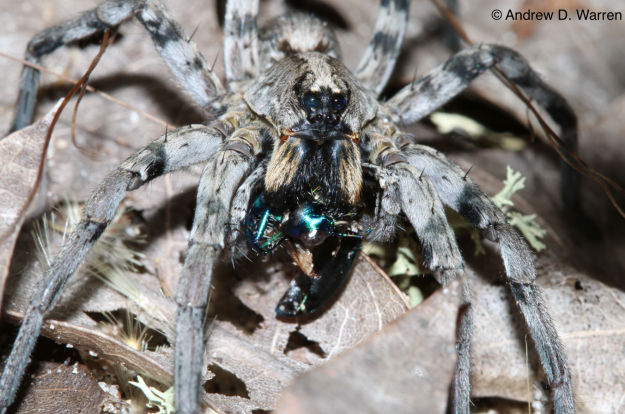 Wolf Spider (Hogna sp.) eating a Festive Tiger Beetle (Cicindela scutellaris unicolor), FLORIDA: Levy Co.: Bronson, 24-XI-2013