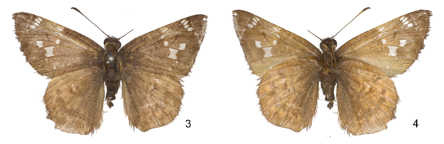 Holotype male of Cogia mala, upperside (3) and underside (4), from Guatemala. Photos by Nick Grishin