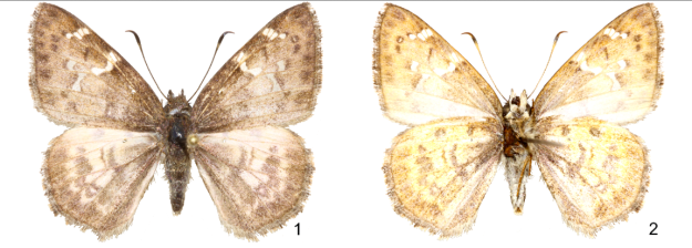 Holotype male of Cogia buena, upperside (1) and underside (2), from Oaxaca, Mexico.